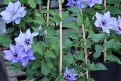 konigskind-1-yr-plant-blue-Climador-2
