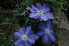 Blue-Jeanne