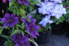 Suzy-Mac-Blue-Jean-1-yr-plants