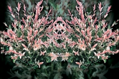 Salix-Flamingo331