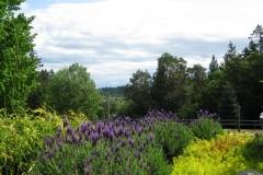 lavender-Hazel-trials-in-Victoria275
