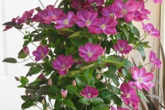 Clematis_Miniseelik_PPAF_container