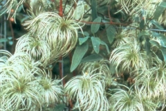 Seed-Heads-Clematis-My-Angel-001