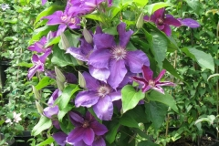 Clematis_hybrid_Reiman_PPAF_container