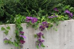Clematis_hybrid_Reiman_PPAF_garden