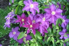 Clematis_Rituaal_PPAF