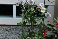 Anemone-Ruffled-Swan-POPP-2-1st-year